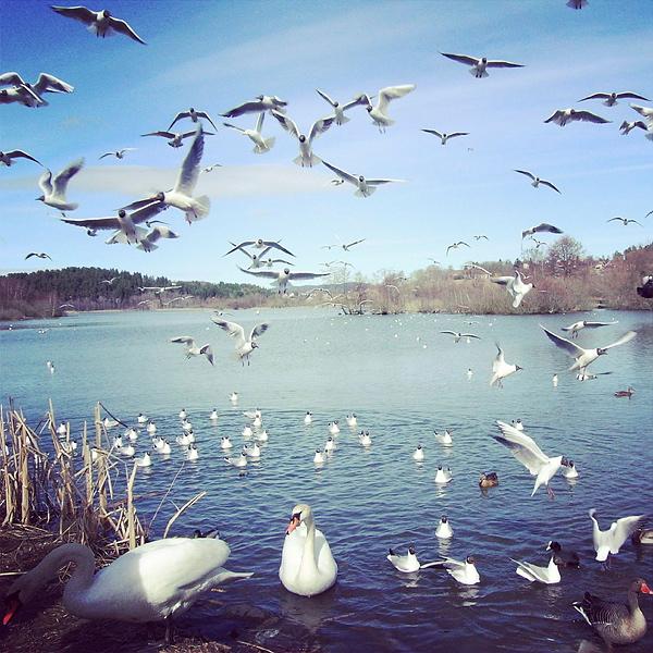 Fugler på Østensjøvannet