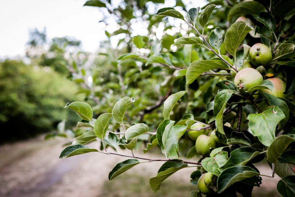 Epler henger i et epletre.